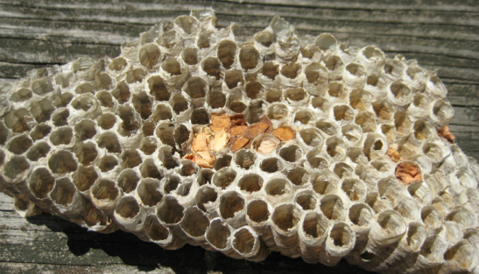 Managing Paper Wasps with Grease