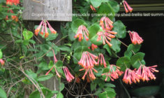 A Hummingbird Honeysuckle for Your Cold Microclimate