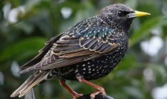 The Starling and Me
