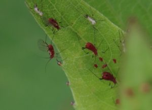 Birds Bees Aphids